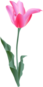 Pink Tulip Clipart png free, Pink Tulip transparent png