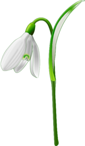 Single Snowdrop Clipart png free, Single Snowdrop transparent png