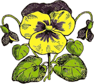 Pansy Illustration With Color Clipart png free, Pansy Illustration With Color transparent png
